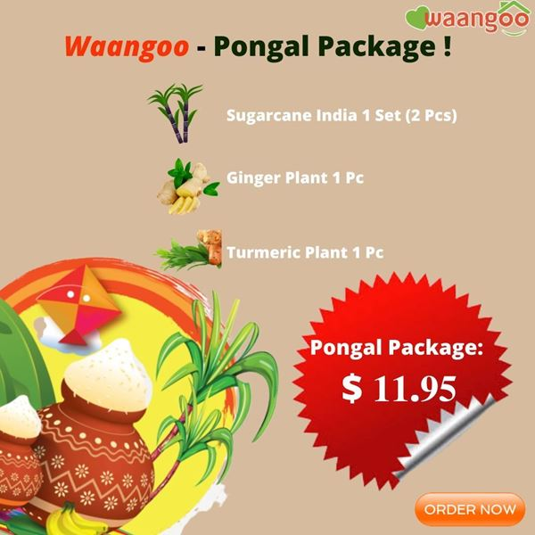 Picture of Pongal Package ~ ( Sugarcane 2 Pcs t , Turmeric Plant , Ginger Plant)