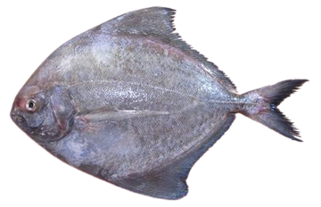 Picture of Fresh Black Pomfret Fish  (NO EXCHANGE & NO RETURN For This Item)